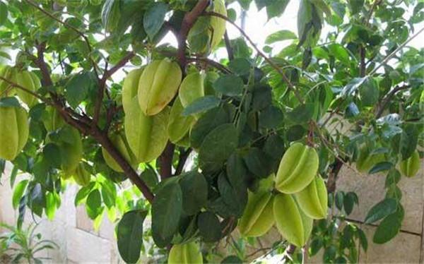 杨桃的功效与作用吃法 吃杨桃的禁忌