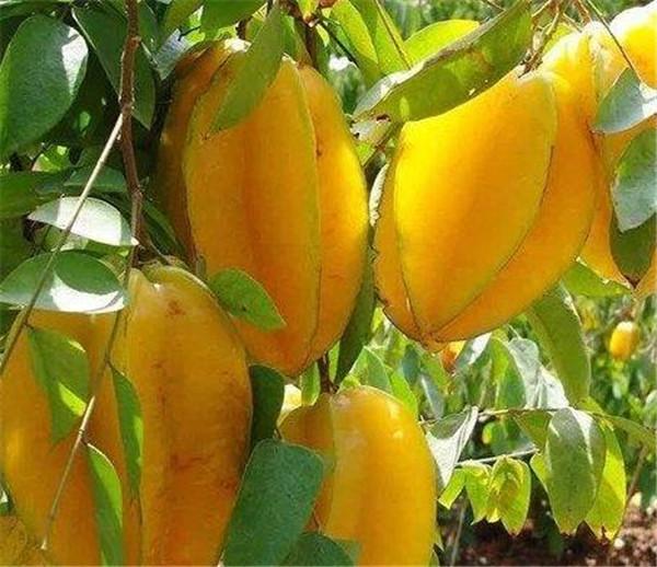 杨桃的营养价值有哪些 杨桃价格多少钱一斤