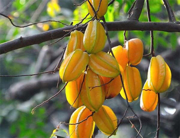 杨桃如何处理才能吃 杨桃相克的食物有哪些
