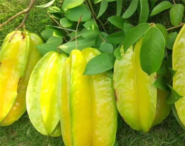 杨桃种植几年挂果 杨桃树种植技术