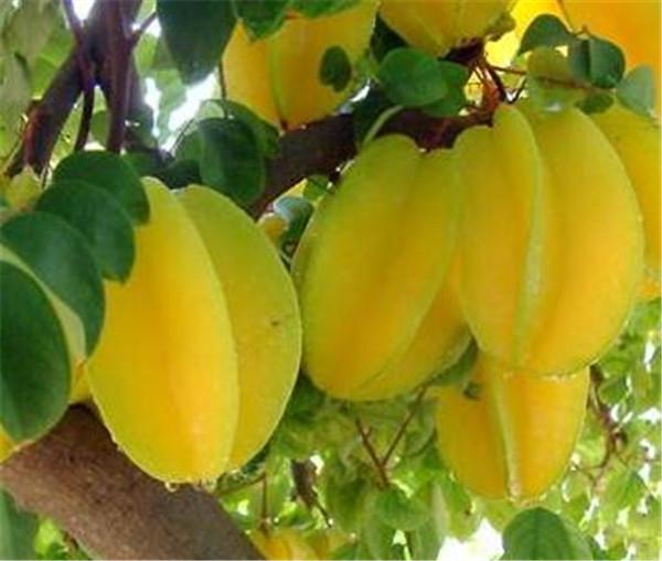 杨桃树的修剪方法 杨桃树什么时候施肥比较好