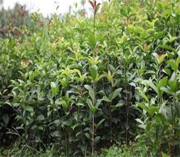 月月桂与四季桂的区别 桂花的品种哪个最好