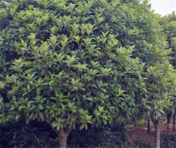 月桂树与桂花树的区别 月桂树的栽培及管理