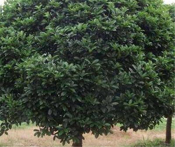 八月桂花树多少钱一棵 八月桂花树怎么养才长得好