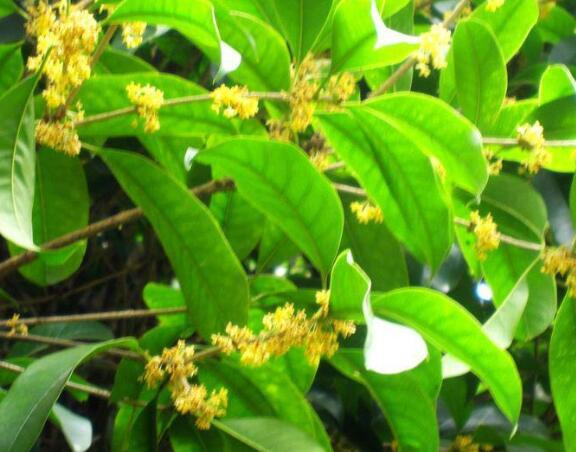 桂花树用什么肥料最好 桂花树浇水的正确方法