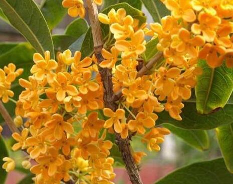 桂花树什么时候移栽最好 桂花树品种哪个最好