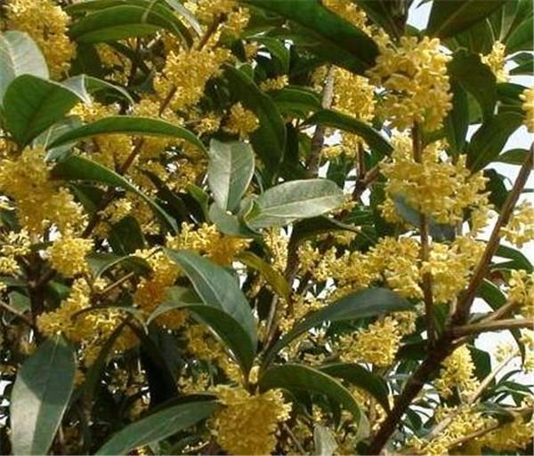 桂花树的特点和用途 桂花树怎么养才长得好