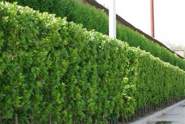 北海道黄杨怎么种植 北海道黄杨最佳移栽季节