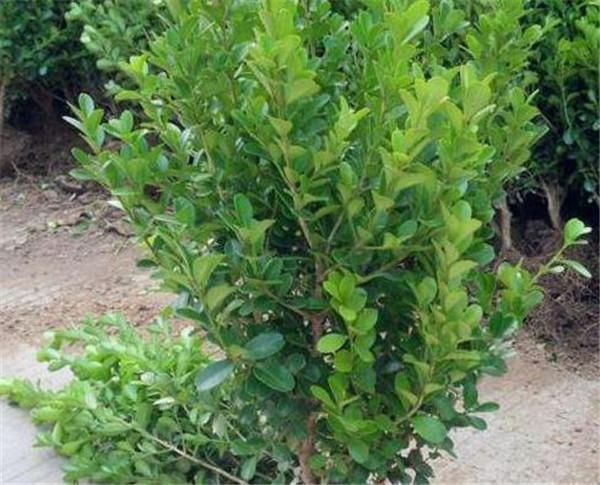 哪种黄杨品种最好 黄杨球如何养护