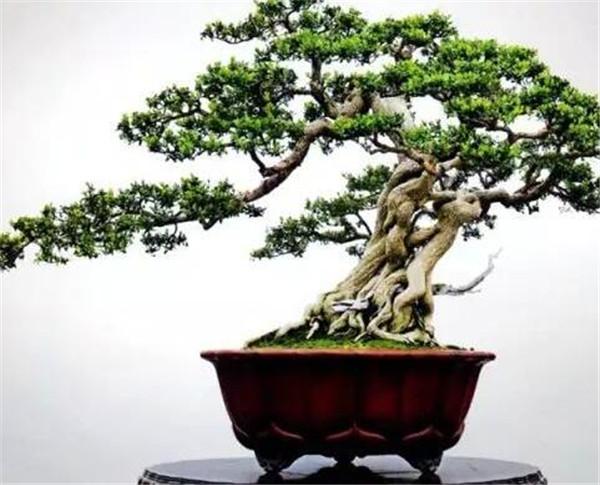 黄杨盆景制作入门教程 黄杨盆景养殖方法和注意事项