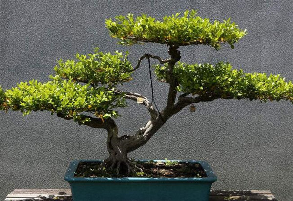 黄杨盆景几月份造型最好 黄杨盆景价格是多少