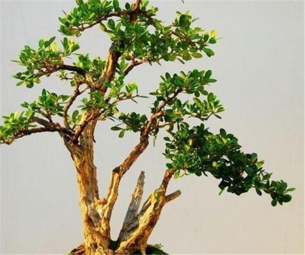 黄杨盆景的养护与管理 黄杨盆景的修剪方法