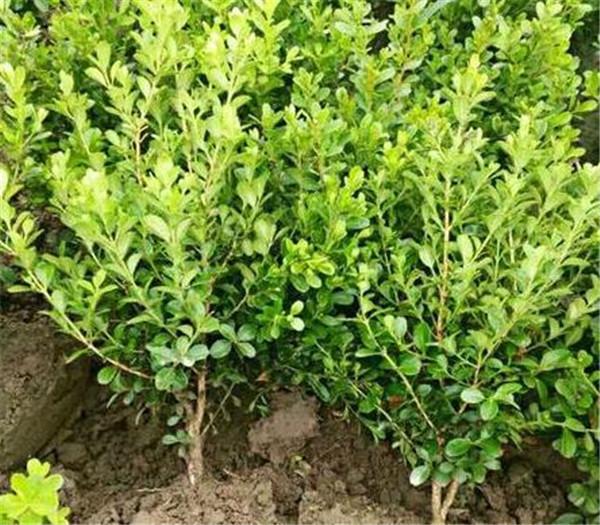 瓜子黄杨小苗多少钱一棵 瓜子黄杨的养殖方法和注意事项