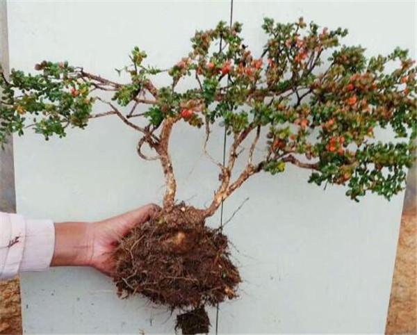 珍珠黄杨的繁殖方法 珍珠黄杨下山桩盆景养殖方法