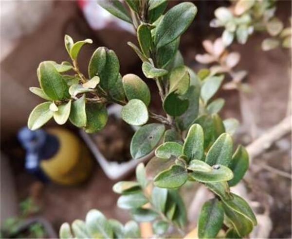珍珠黄杨下山桩多久生根 珍珠黄杨生长环境