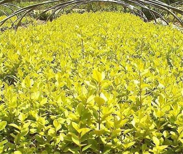 豆瓣黄杨盆景图片价格 豆瓣黄杨盆景怎么养
