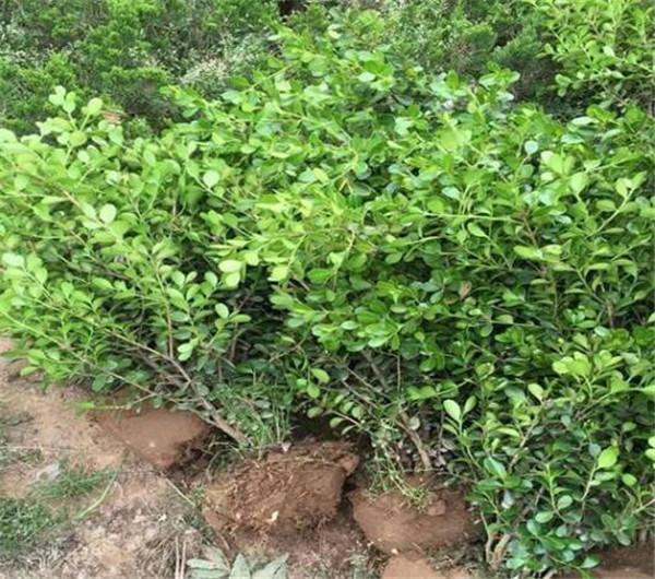 豆瓣黄杨盆景制作方法 豆瓣黄杨盆景什么季节修剪
