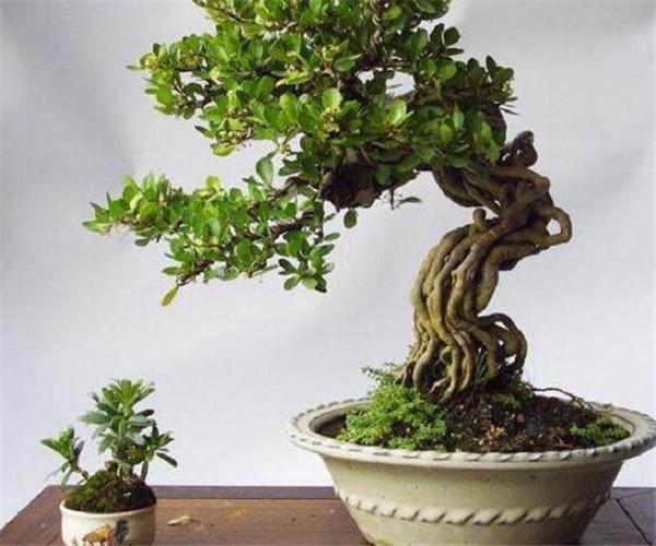 金心黄杨盆景怎么养 金心黄杨的园林用途