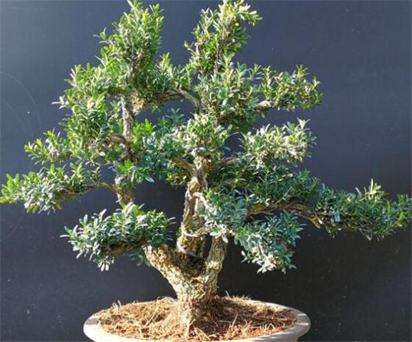 黄杨木盆景修剪技巧 黄杨木盆景养殖方法和注意事项