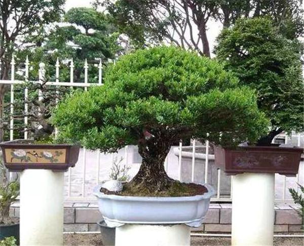 黄杨木盆景可以放在室内养吗 黄杨木盆景如何摆放
