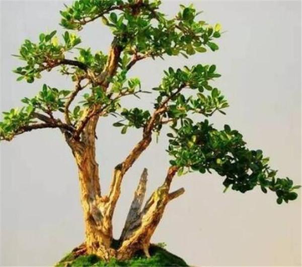 黄杨盆景室内养的风水寓意 黄杨木用深盆还是浅盆