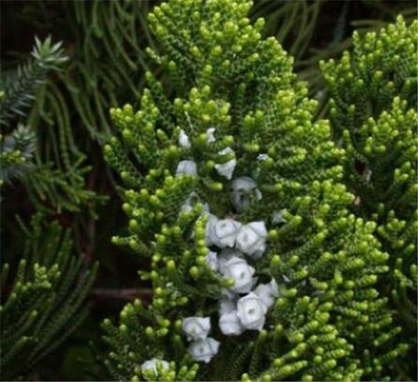 龙柏树现在价格是多少 龙柏树的功效与作用