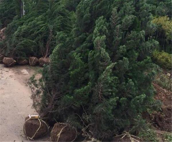 龙柏树风水作用 墓地适合种什么树