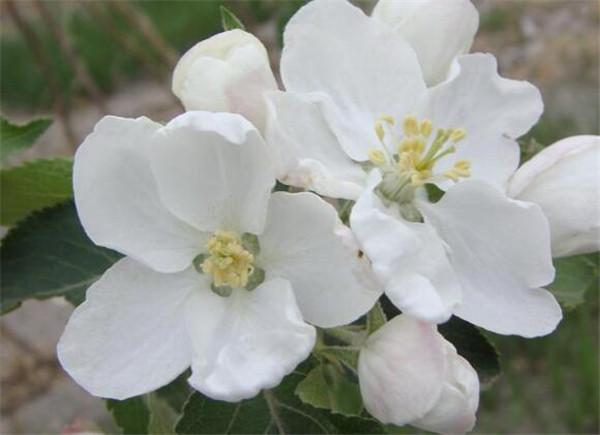 沙果花与海棠花的区别 沙果花什么时候开花