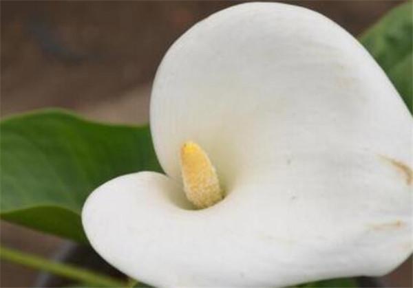 马蹄莲的花语寓意是什么 马蹄莲代表什么