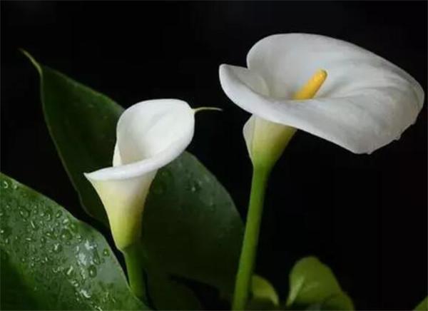 马蹄莲什么时候开花图片 马蹄莲怎么养