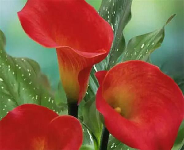 马蹄莲一盆种几个球 马蹄莲只长叶子不开花