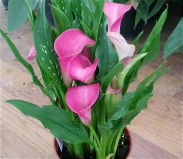 彩色马蹄莲花后怎么处理 彩色马蹄莲能养几年