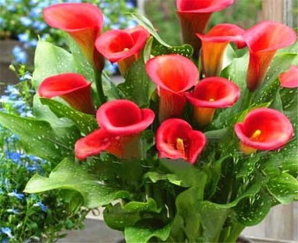 彩色马蹄莲种球多久能发芽 彩色马蹄莲种球种植方法