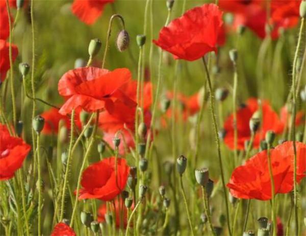 鸦片罂粟花种植多少犯法 罂粟花的花语是什么