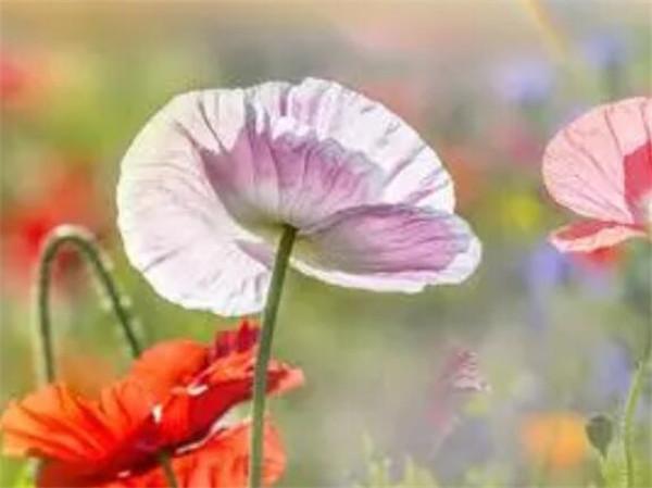 罂粟籽多少钱一斤 罂粟苗能当菜吗