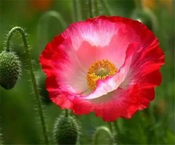 罂粟花种子几天发芽 罂粟花什么颜色