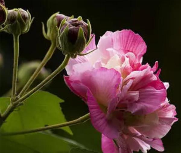 芙蓉花寓意着什么意思 芙蓉花是什么季节开的花