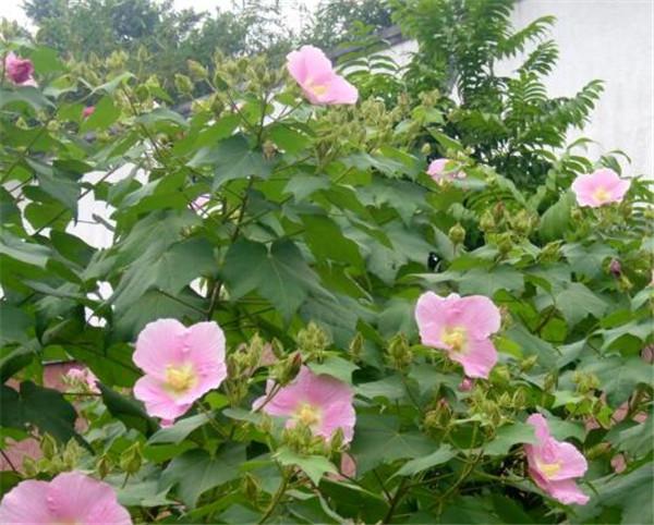 木芙蓉叶的功效与作用 木芙蓉什么时候开花