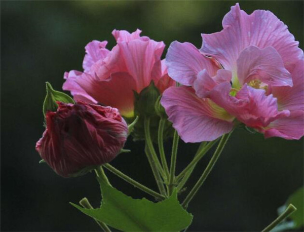 木芙蓉花的寓意和象征 木末芙蓉花指的是什么花