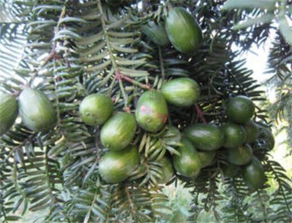 香榧树耐寒多少度 香榧树种植技术