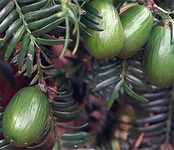 香榧树种植方法与时间 香榧树种植前景如何