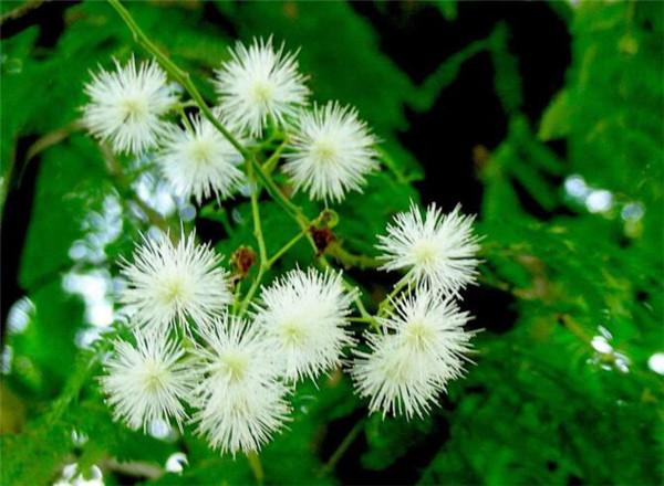 银合欢属于乔木还是灌木 银叶金合欢是常绿还是落叶