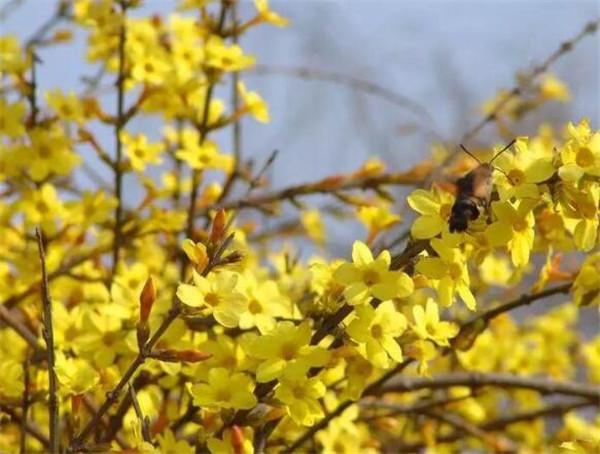 迎春花是什么颜色 迎春花什么时候几月开