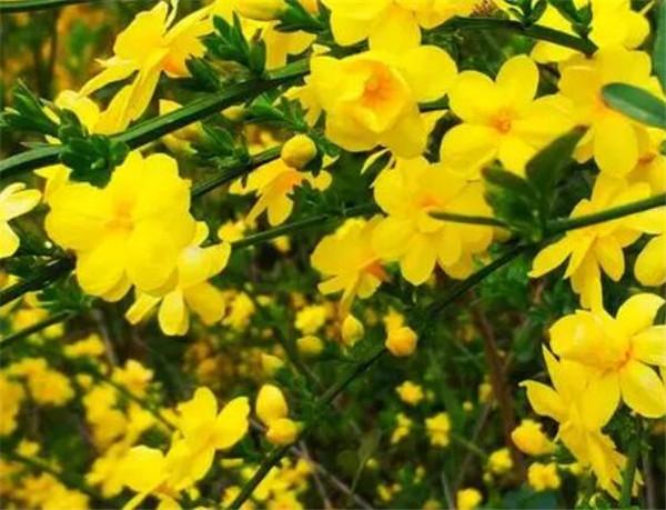 迎春花盆景造型方法 迎春花上什么肥料最好