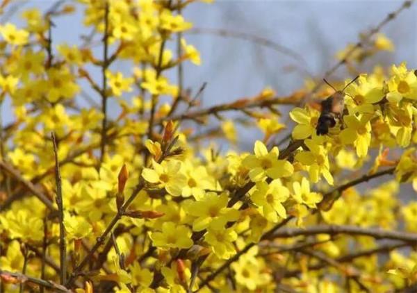 迎春花花语是什么 赞美迎春花的优美诗句