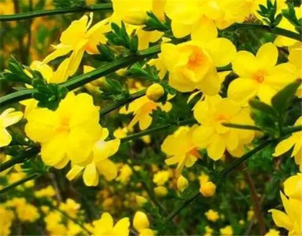 迎春花怎么繁殖 迎春花几月挖最好