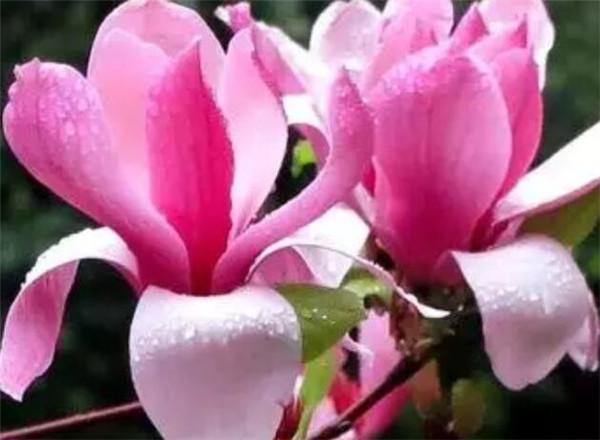 木兰花和玉兰花一样吗 木兰花花语寓意
