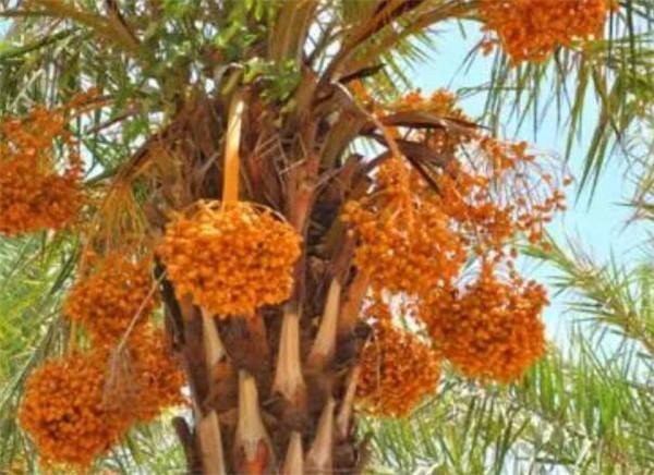 伊拉克椰枣是怎样加工的 伊拉克椰枣携带乙肝病毒