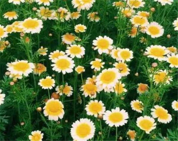 小雏菊的花语是什么 小皱菊为什么不能送人