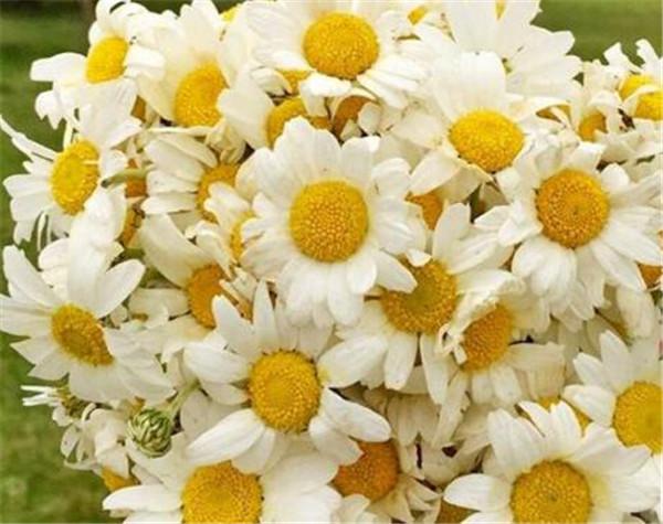 小雏菊鲜花怎么水养 养小雏菊真的不吉利吗